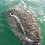 My favourite baby gray whale