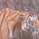 tijger tijdens safariritje