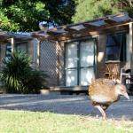 Rare North Island Weka