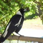 Resident Magpie