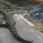 Photo de Crocodile Centre St Lucia