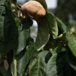 Fig Tree on Property