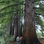 Red Wood in Humarane Springs