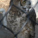 A good picture of a Great Horned Owl