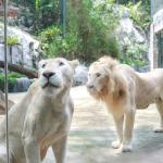White Lion Kingdom