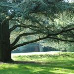 Blue Atlas Cedar on the Lawn