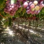 nuestra uvas Vicuna
