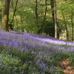 Glorious bluebells in May