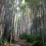 Trail through the bamboo