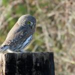 Pygmy owl on fencepost by the Fisherman cabin