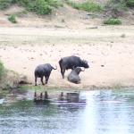 Buffalo on the far bank of the Crocodile River