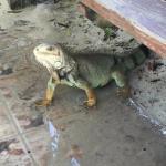 Iguana on Palomino Island