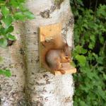 Red Squirrel on our Birch Tree