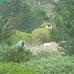 View from the front tables: goats on the hill across Highway 1