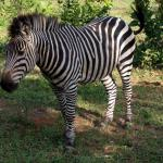 the zebra who welcomed us!