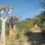 Quiver Tree Forest, Botanical Gardens, Windhoek
