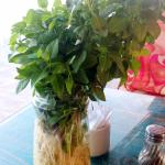 Tables in the restaurant are showered with basil plants.. they smell wonderful