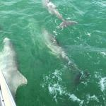 A pod of Bottleneck Dolphins swimming alongside the Harvest Moon!