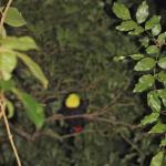 Keel-billed Toucan Sleeping on Night Hike