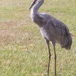 Sand Hill Crane Roaming the Resort