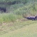 20 ft. Alligator in the Resort