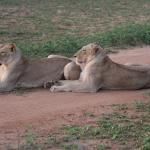Les lions adorent s'étendre sur les pistes !