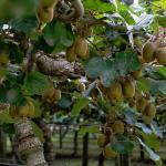 Kiwi vines laden with fruit