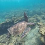 Sea Turtle at Kapalua Beach