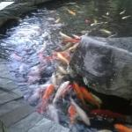 the fishpond (koi) serves as a good side attraction