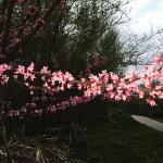 Red bud in the spring along the Roanoke River in Salem, VA