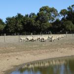 Sheep on the move after a drink at the dam at the new Ripples n Tonic Alvina Farm stay, Phillip