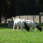 visit Billi and Bertie our farm house goats