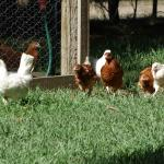 Enjoy feeding and interacting with the free range hens and roosters.  Organic eggs are available