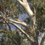 Late afternoon colours on gum trees