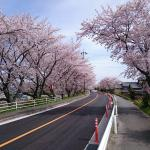 Row of Cherry Trees in Nabeta Riverbank