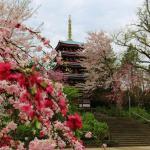 桜に囲まれる五重塔