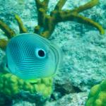 Four Eye Butterfly Fish