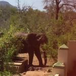 Elephant coming down for a drink .