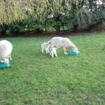 Baby lambs born before our visiit