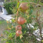 I was amazed to see pomegrante trees growing all over the property.