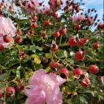 nice roses gardening