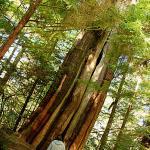 Ancient Cedars Walk,Wild Pacific Trail