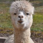 Photo de SpinnAcres Alpaca Farm Retreat