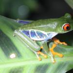 Frog pond of Monteverde
