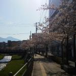 Sakura outside the hotel, by the river