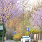 Spring is flowering all over...beautiful neighborhood!