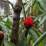rhododendron flower somewhere under Mardi Himal.