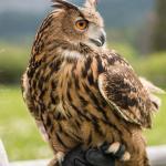 K2 the Eurasian Eagle Owl. Photo by Becca Bredehoft.