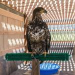 River the Bald Eagle. Photo by Becca Bredehoft.