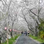 Ota River Sakura Zutsumi